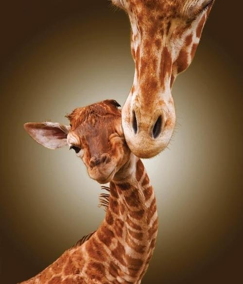 mom-perfectionists-giraffe