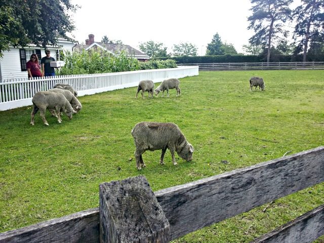 weekend-village-sheep